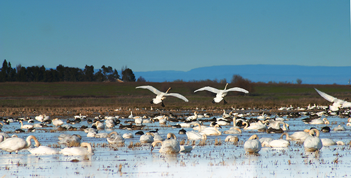 Tundra-swans_shutterstock.jpg