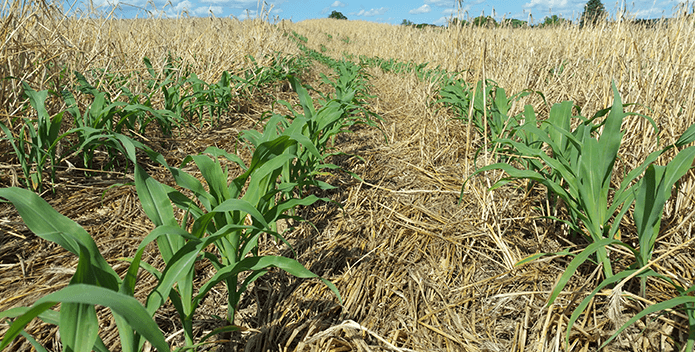 corn field and cover crops - Leslie Bowman - 695x352