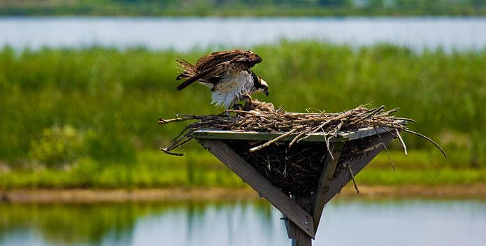 osprey-chicks-BobQuinn_695x352.jpg