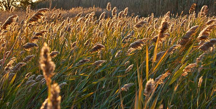 sea-oat-plant-DSC_2883_unknown_695x352.jpg